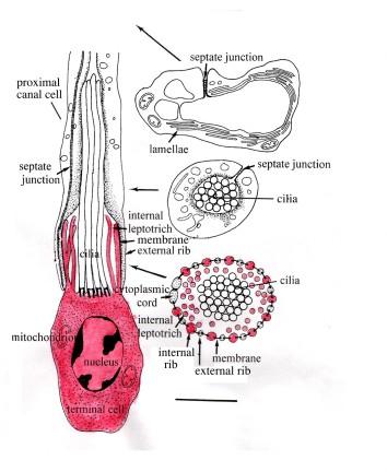 Giardia kod pasa simptomi Filo platyhelminthes monogén osztály
