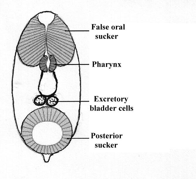 Giardiasis mi ez Giardiasis tünetei és kezelése Lamblia kernel