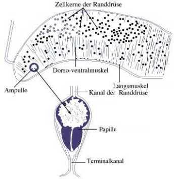 Die Aspidogastrea. Ein parasitologisches Modell – Klaus Rohde